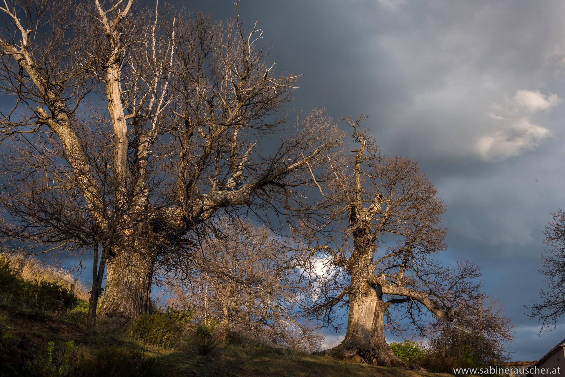 amazing tree giants in the late sunlight   Bäume im späten Sonnenlicht