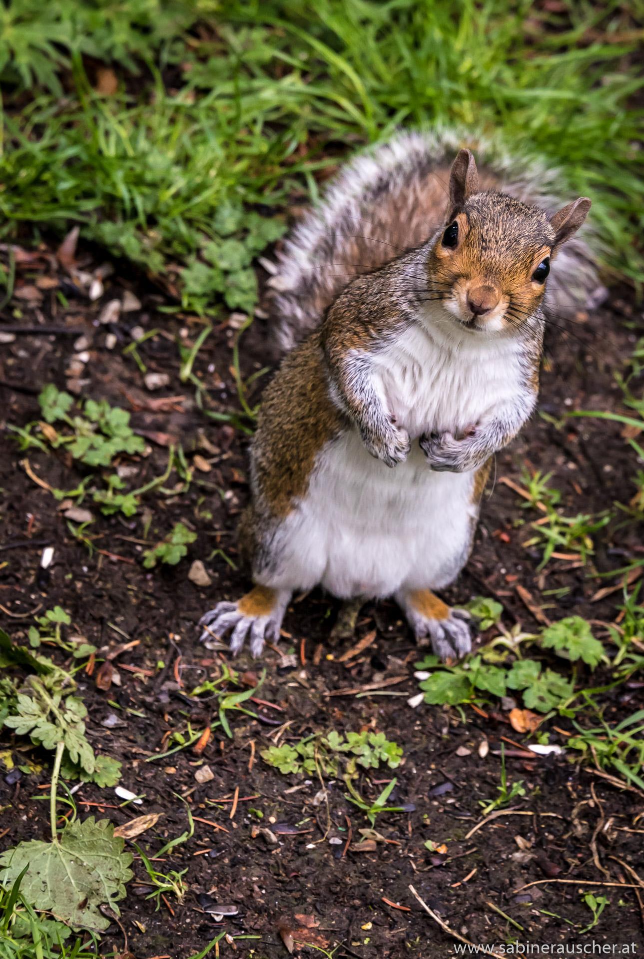 nosy and greedy squirrel at Harlow Carr Gardens in Harrogate   neugieriges Eichhörnchen im RHS Garden Harlow Carr in Wales