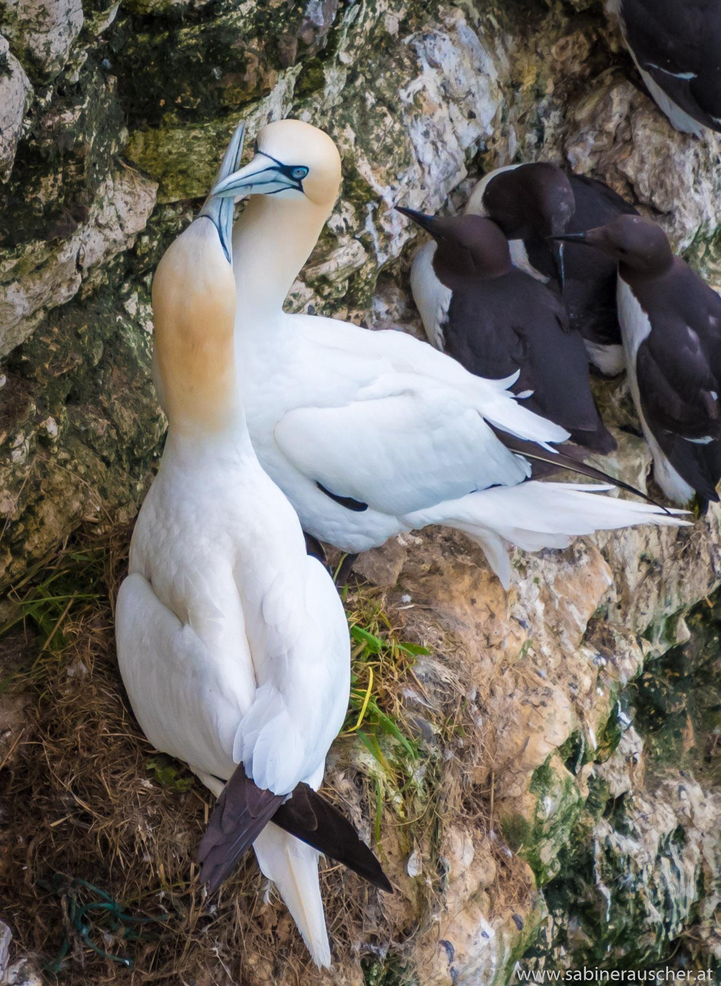 breeding gannets at Bempton Cliff Seabirds Nature Reserve   brütende Basstölpel in Yorkshire