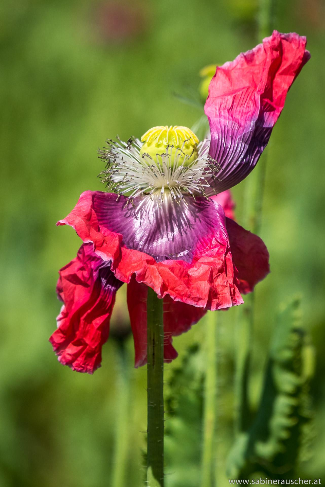 Poppy   Waldviertler Mohnblüte