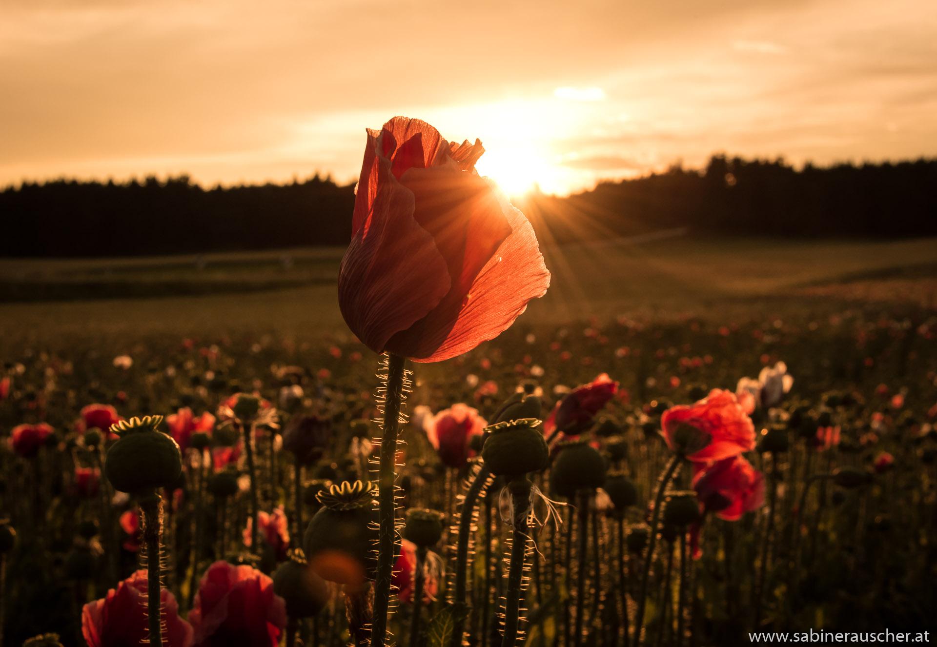 Sunset at a poppy field in Lower Austria   Mohnfeld im Waldviertel