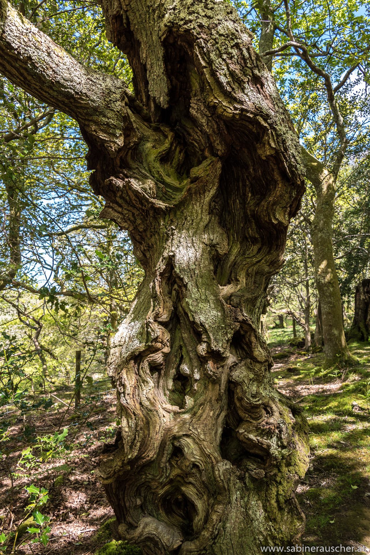 gnarled tree trunk at Dolgoch Falls in Wales | knorriger Baumstamm bei den Dolgoch Falls in Wales