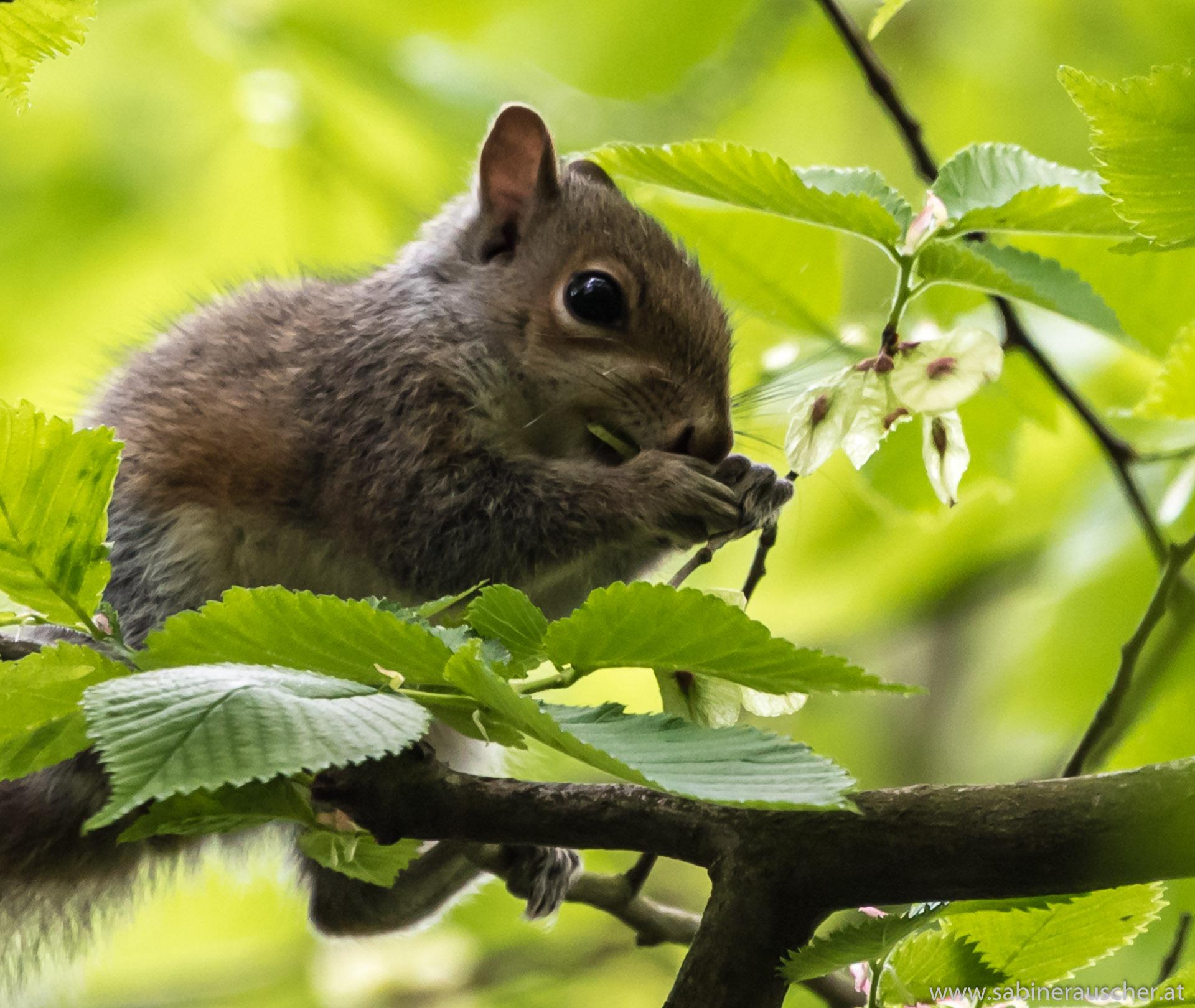 grey squirrel in Wales   Eichhörnchen - die dominante graue Art, die die roten verdrängt