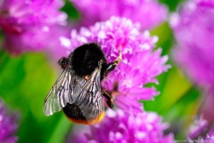 Humblebee at Abbey House Garden  in the Cotswolds, UK   Hummel in britischem Garten