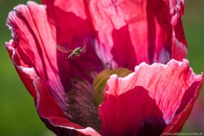 Poppy and a guest    Insektenbesuch in einer Waldviertler Mohnblüte
