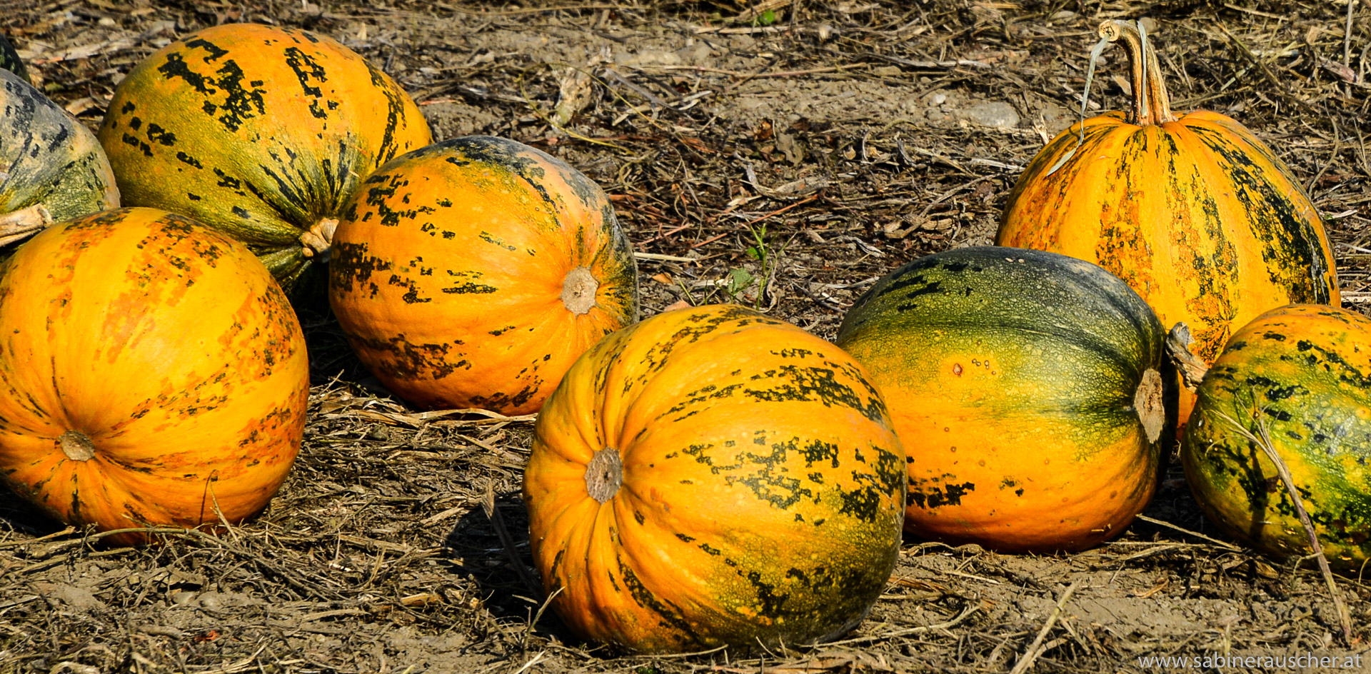 Pumpkins after harvest   geerntete Kürbisse