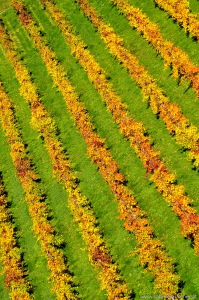 Vineyard in autumn   herbstliche Weinzeilen