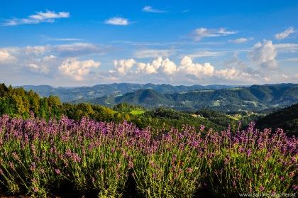 Lavender in the Summer heat of South Styria   blühendes Lavendel in der Südsteiermark