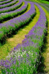 Lavender fields near Kitzeck   Lavendelfeld bei Kitzeck