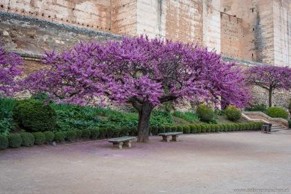 Love Tree with its violet blossoms | Liebesbaum mit seinen violetten Blüten