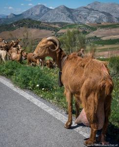 a goat´s herd in El Torcal | Ziegenherde in El Torcal