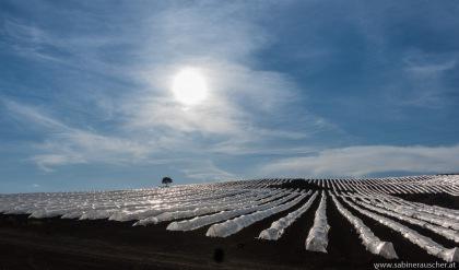 strawberry fields (forever) | Erdbeerfelder so weit das Auge reicht