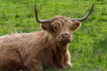 Highland Cattle | Schottisches Hochlandrind